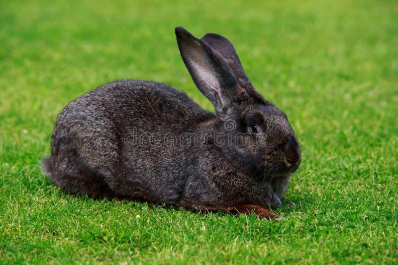 El conejo gris imagen de archivo