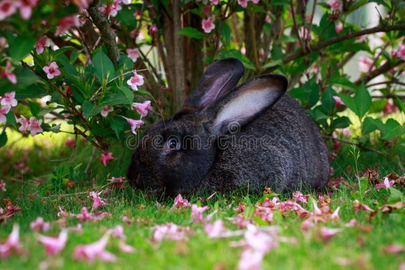 El conejo gris fotos de archivo