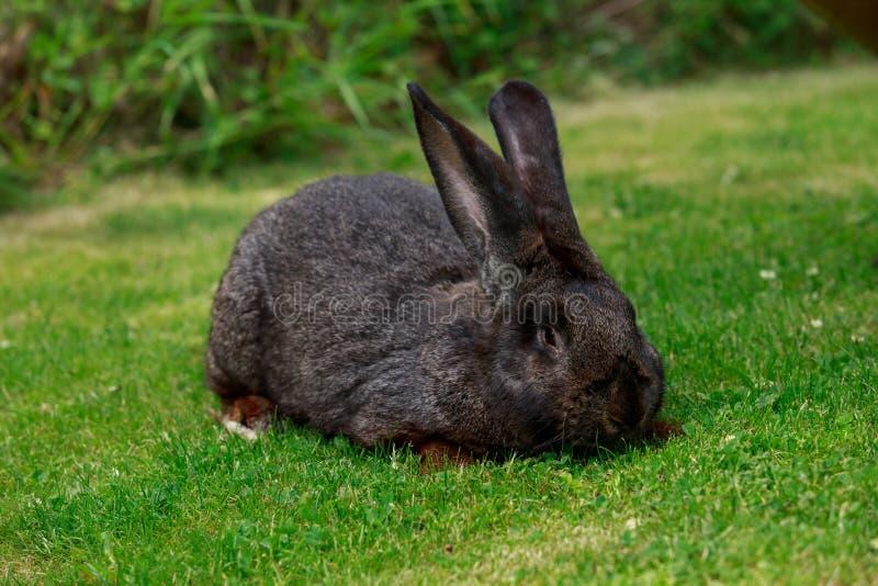 El conejo gris fotografía de archivo