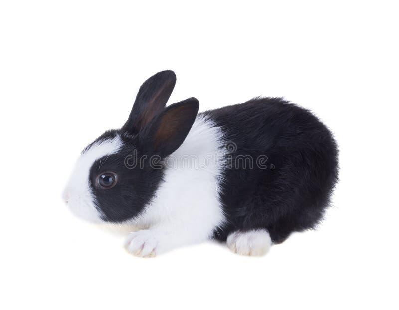 El conejo holandés Aislado en el fondo blanco imagen de archivo