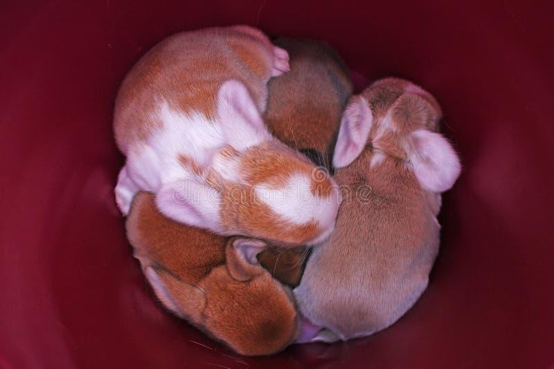 El conejo lindo del bebé del conejito poda el equipo Conejitos recién nacidos foto de archivo libre de regalías