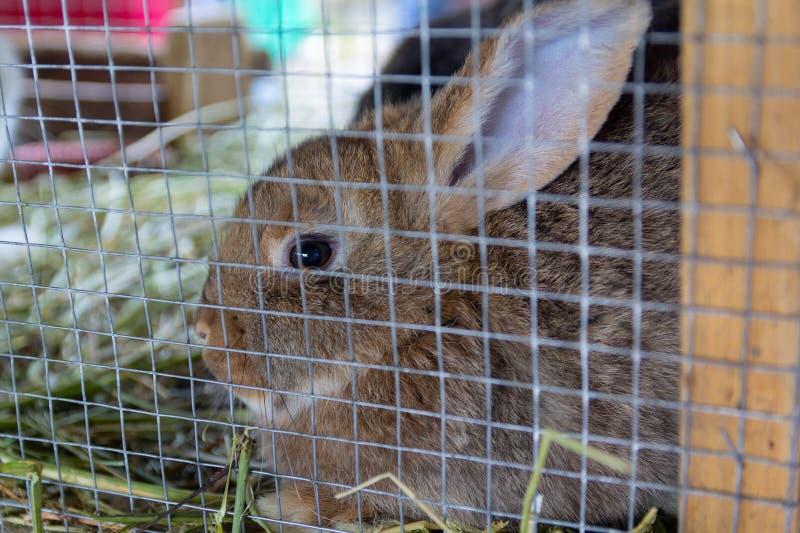 El conejo pedigrí se sienta en una jaula foto de archivo