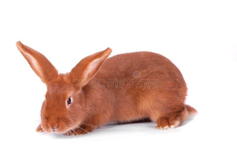 El conejo rojo foto de archivo libre de regalías