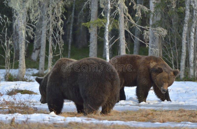 El conflicto de dos osos marrones para la dominación imagen de archivo libre de regalías