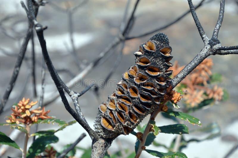 El cono de la semilla del oblongifolia del Banksia se abrió después de un bushfire fotos de archivo libres de regalías
