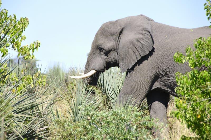 El conseguir cerca de la fauna en un parque nacional de Kruger del safari imagen de archivo libre de regalías