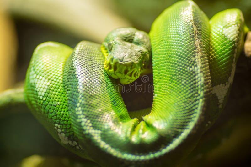 El constrictor de boa verde puede ser una de las serpientes más grandes del mundo foto de archivo