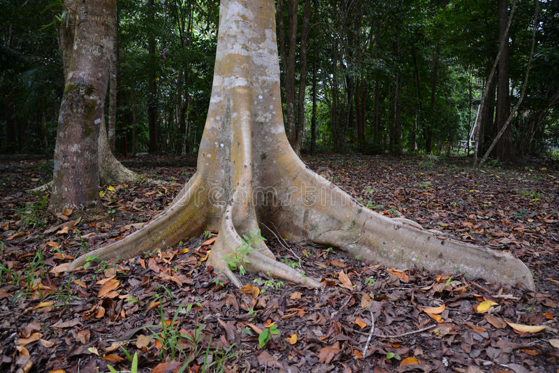 El contrafuerte de la raíz de un árbol en Australia foto de archivo