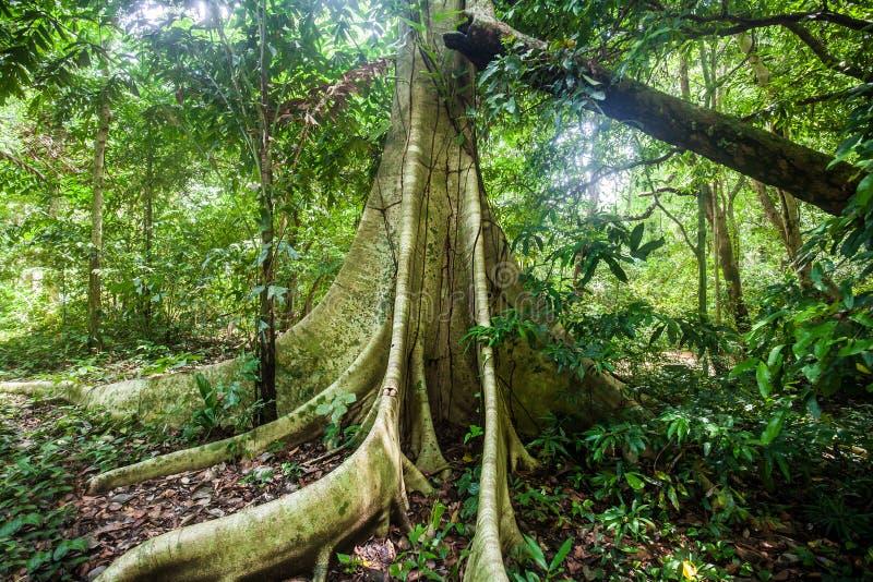 El contrafuerte grande del árbol arraiga en un árbol de la selva tropical de Dipterocarp fotografía de archivo libre de regalías