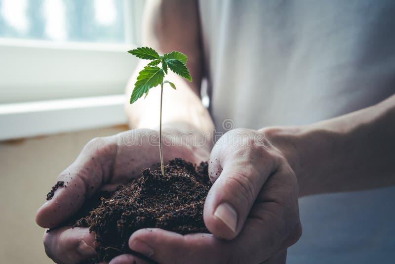 El control de la persona joven en su brote de la mano de la marijuana m?dica imagen de archivo libre de regalías