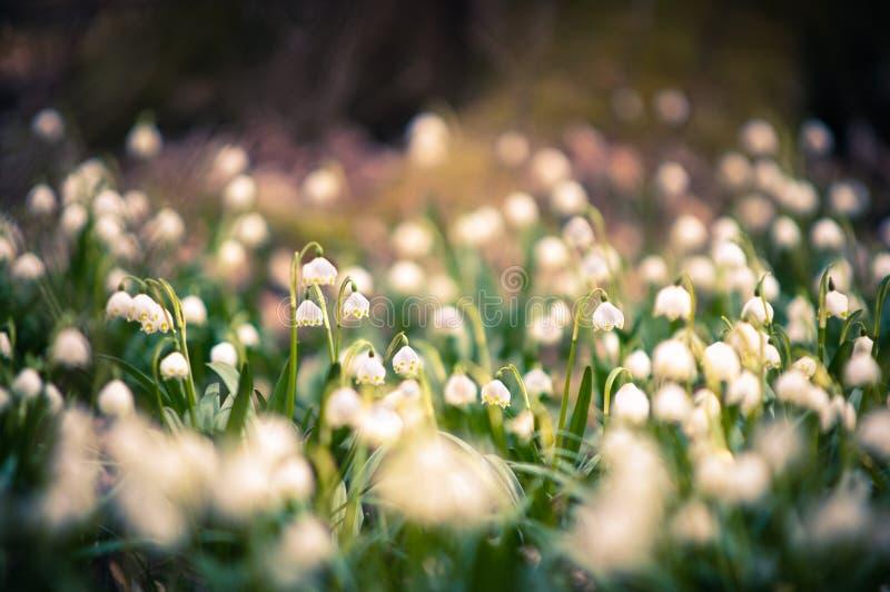 El copo de nieve de la primavera florece el flor, floreciendo en el ambiente natural del bosque, bosque Fondo de la primavera con fotografía de archivo libre de regalías