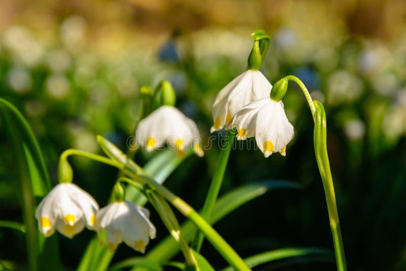 El copo de nieve de la primavera florece el vernum de Leucojum que florece en puesta del sol imagenes de archivo