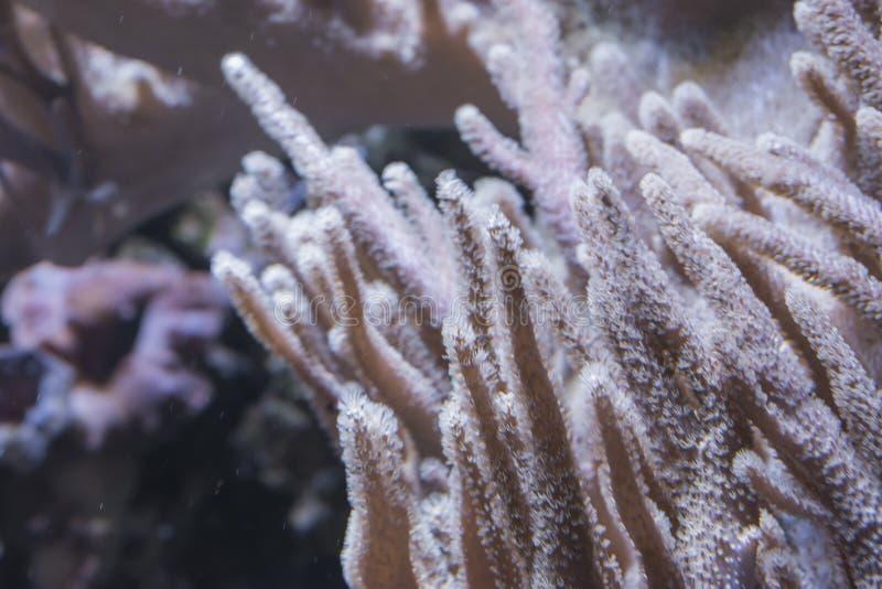 El coral del potro fotografía de archivo