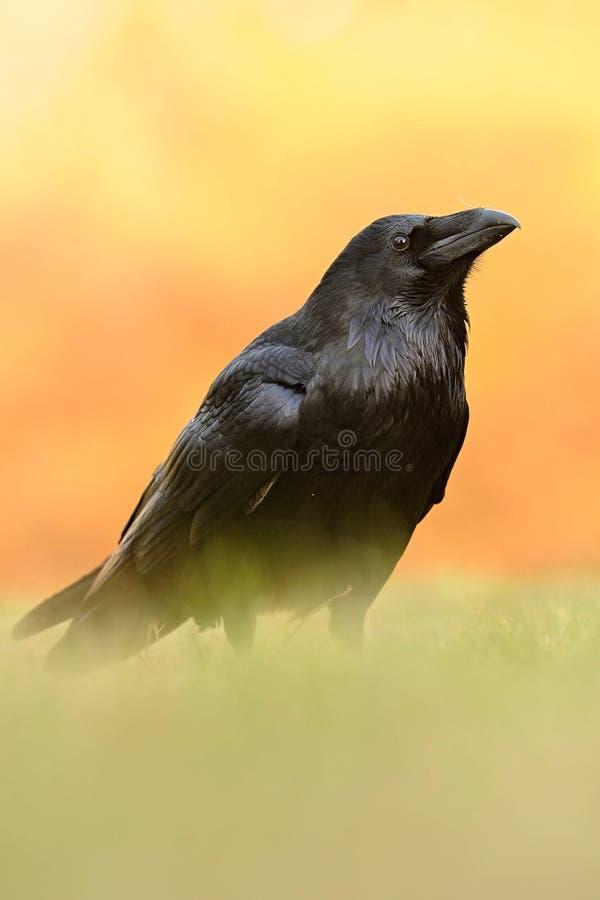 El corax común del Corvus del cuervo, también conocido como el cuervo septentrional, imagenes de archivo