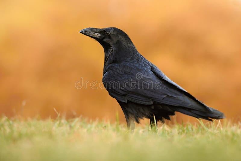 El corax común del Corvus del cuervo, también conocido como el cuervo septentrional, foto de archivo libre de regalías