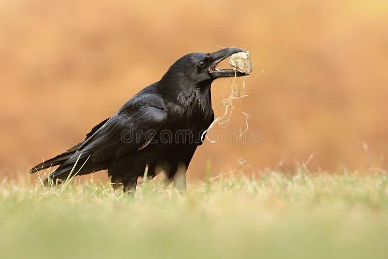 El corax común del Corvus del cuervo, también conocido como el cuervo septentrional, foto de archivo