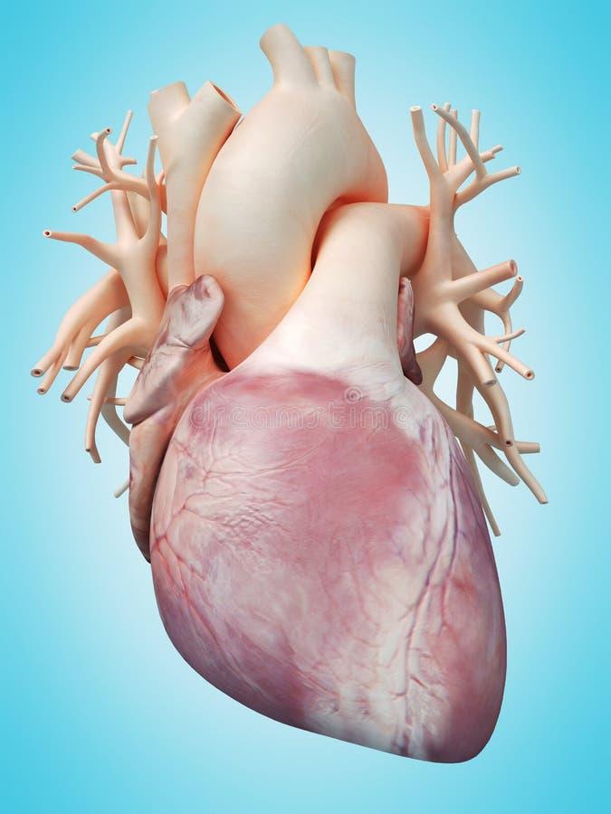 El corazón humano ilustración del vector