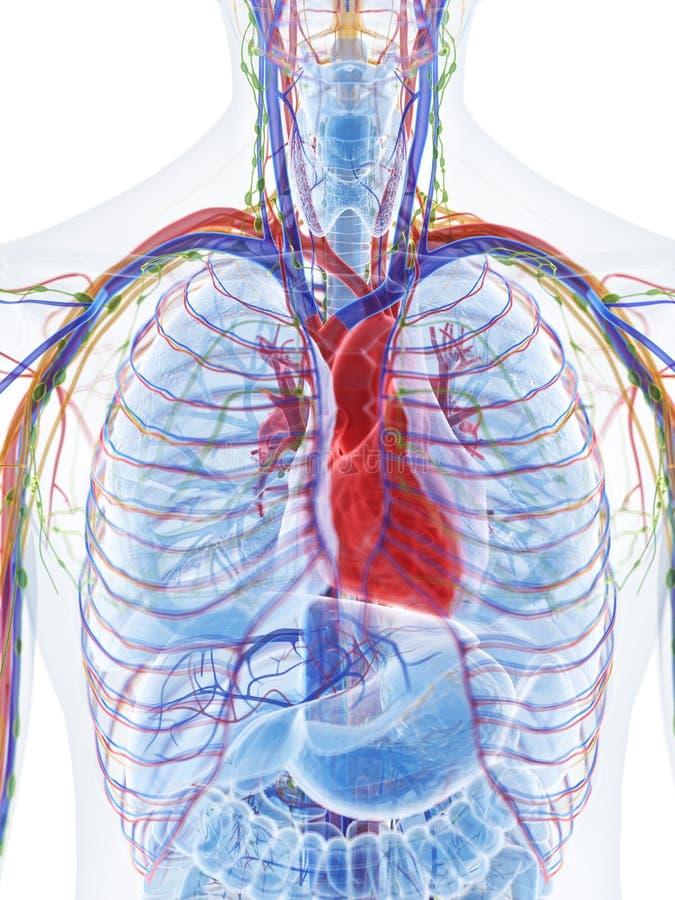 El corazón humano stock de ilustración