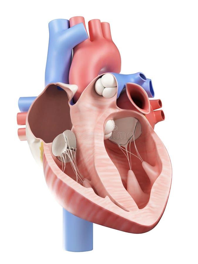 El corazón humano stock de ilustración. Ilustración de corazón ...