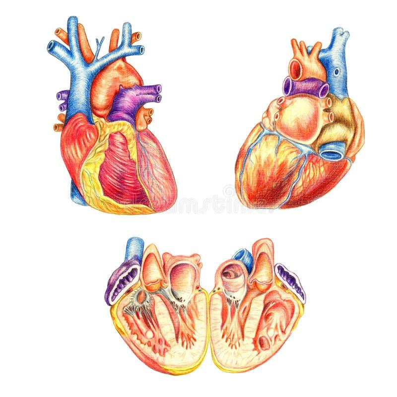 El corazón humano visto del frente, detrás y longitudinalmente corte ilustración del vector