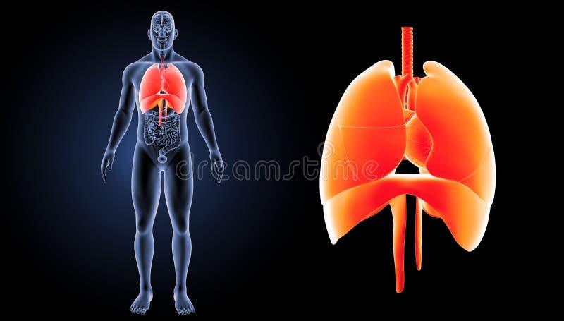El corazón, los pulmones y el diafragma enfocan con la opinión anterior de los órganos ilustración del vector