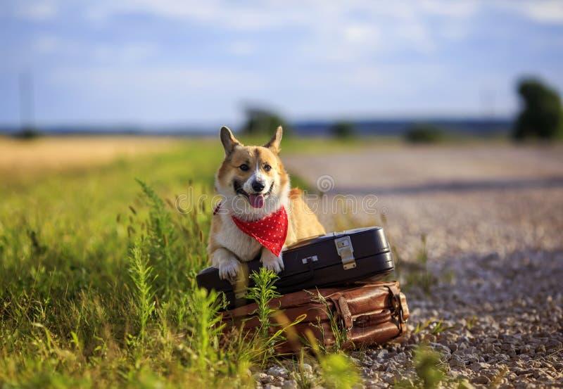 El Corgi rojo del perro del perrito miente en dos maletas viejas en el camino que espera pasando el transporte divertido pegándos fotografía de archivo
