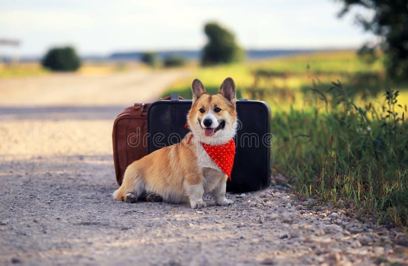 El Corgi rojo del perro del perrito se sienta en el camino en dos maletas viejas que esperan pasando transporte en un día de vera imágenes de archivo libres de regalías