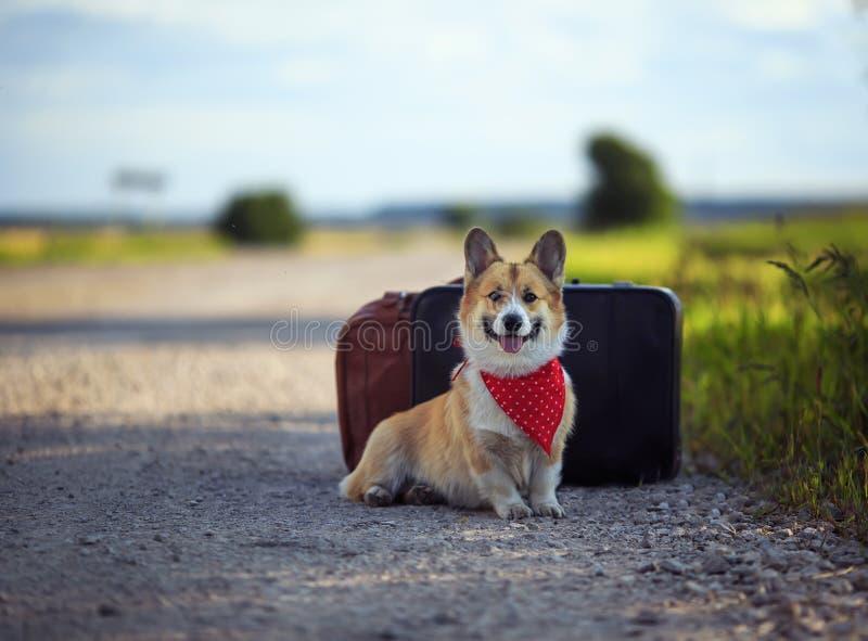 El Corgi rojo del perro del perrito se sienta en el camino en dos maletas viejas que esperan pasando transporte en un día de vera fotografía de archivo
