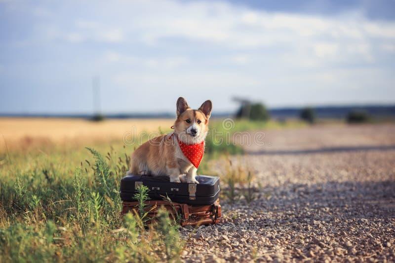 El Corgi rojo del perro del perrito se sienta en el camino en las maletas viejas que esperan pasando transporte en un día de vera imágenes de archivo libres de regalías