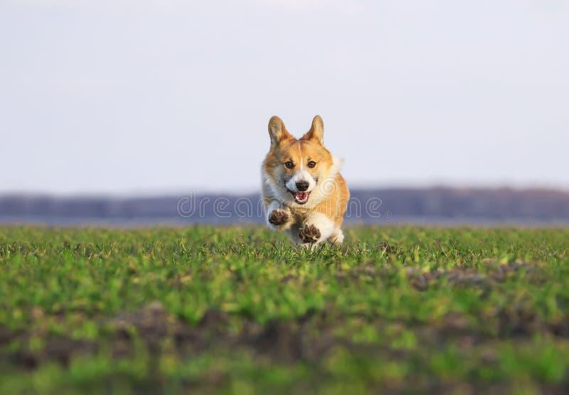 El Corgi rojo hermoso del perrito del perro corre rápidamente en hierba verde en el prado de la primavera divertido pegándose h fotografía de archivo libre de regalías