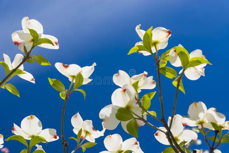 El cornejo hermoso florece en una mañana gloriosa de la primavera imagenes de archivo