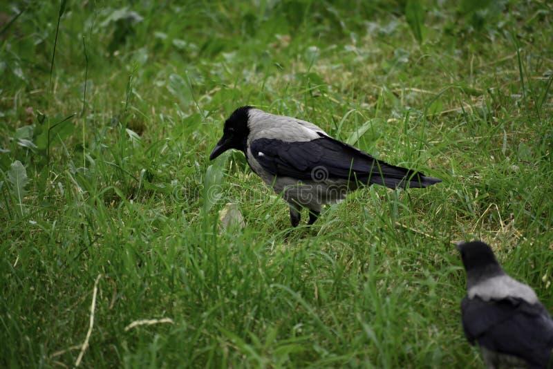 El cornix encapuchado del corvus de la corona se coloca en la tierra y busca un poco de comida imagen de archivo