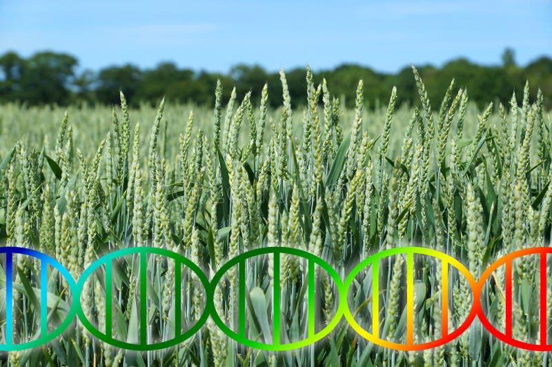 El corregir del genoma o hélice de la DNA de la ingeniería genética sobre cultivo en campo de trigo imagenes de archivo