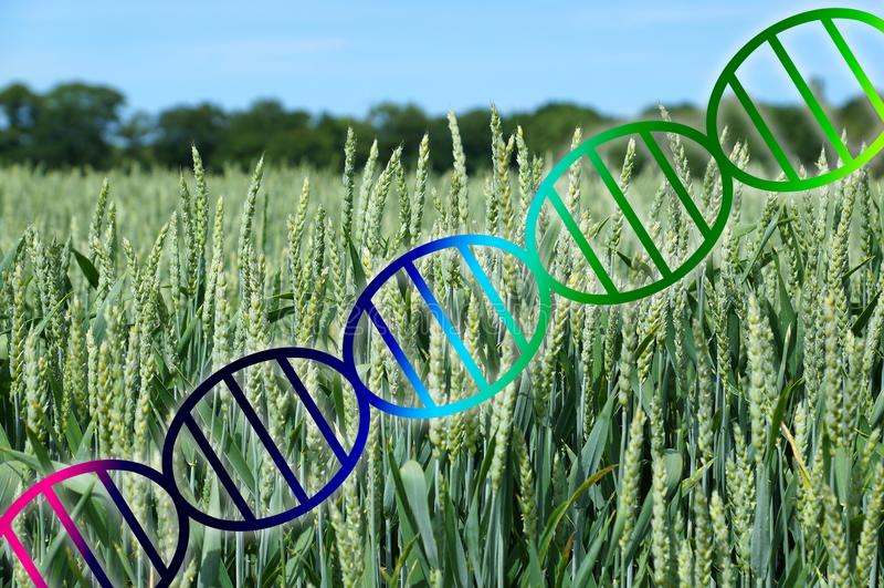 El corregir del genoma o hélice de la DNA de la ingeniería genética sobre cultivo en campo de trigo imágenes de archivo libres de regalías