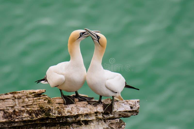 El cortejar masculino y femenino del gannet imagen de archivo