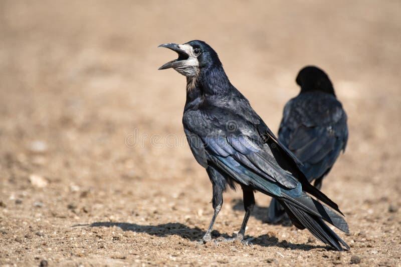 El Corvus Frugilegus del grajo se coloca en la tierra con un pico abierto foto de archivo libre de regalías