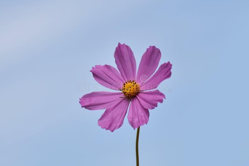 El cosmos rosado floreciente de la flor en el campo cultiva un huerto foto de archivo libre de regalías