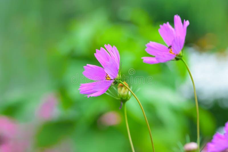 El cosmos rosado floreciente de la flor en el campo cultiva un huerto imagen de archivo