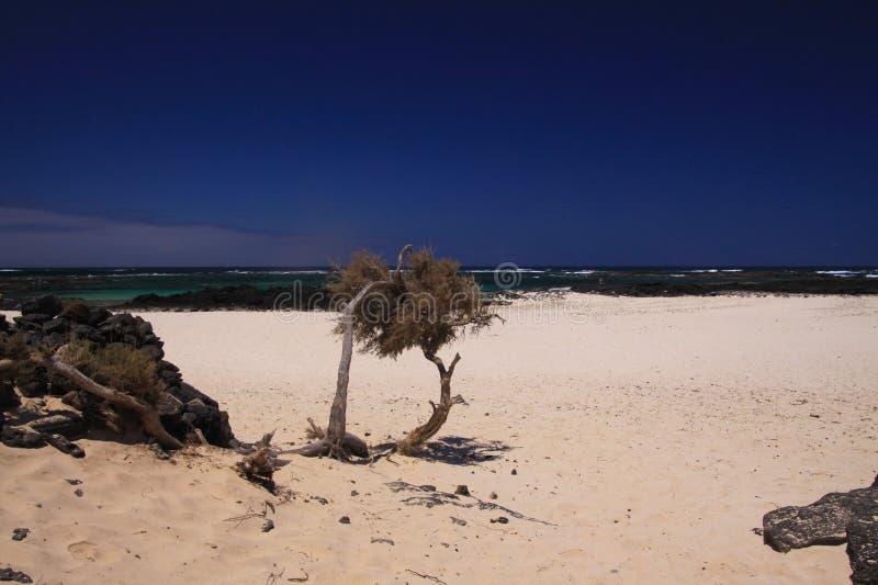 El Cotillo - Faro del Toston: sikt på torrt krokigt träd på den vita sandstranden med den gröna havhorisonten i norr Fuerteventur arkivfoton