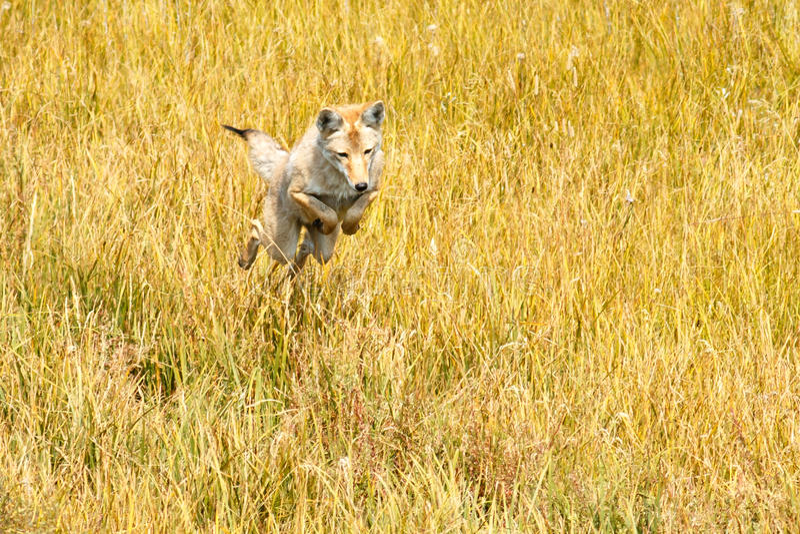 El coyote que salta y que caza imágenes de archivo libres de regalías