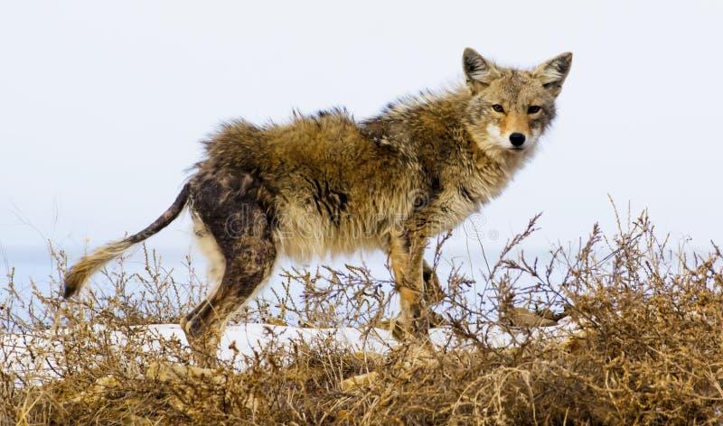El coyote sufre de sarna, la naturaleza puede parecer cruel imagenes de archivo