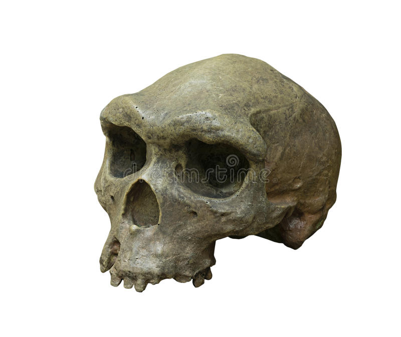 El cráneo de homo erectus en el fondo blanco imagenes de archivo