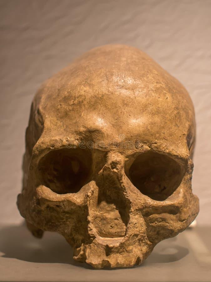 El cráneo de Homo Sapiens, es la única especie humana extant imagenes de archivo