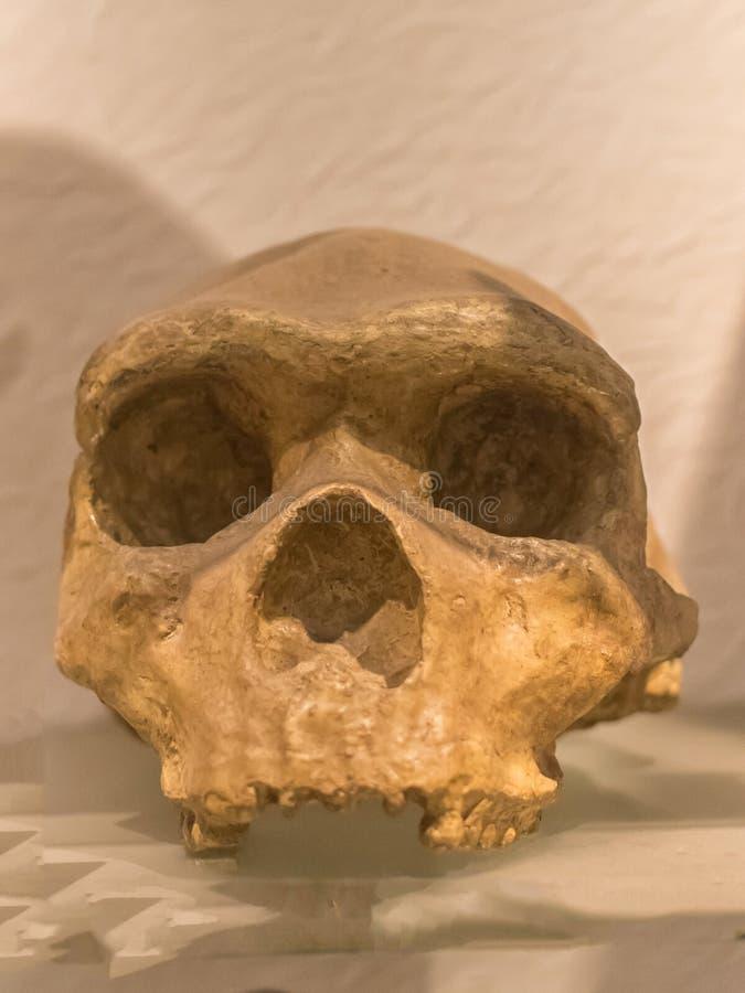 El cráneo de los Neanderthals del homo es una especie o una subespecie extinta de seres humanos arcaicos foto de archivo