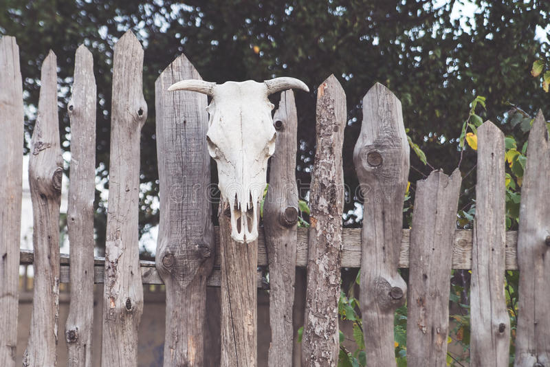El cráneo de una vaca fijó en la cerca de madera magia foto de archivo libre de regalías