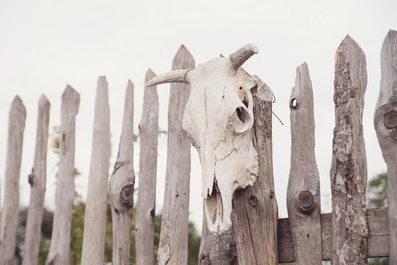 El cráneo de una vaca fijó en la cerca de madera magia fotos de archivo