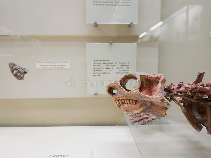 El cráneo del dinosaurio en museo de la paleontología fotos de archivo libres de regalías