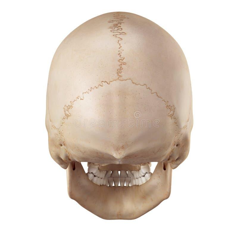 El cráneo humano stock de ilustración. Ilustración de médico - 56652439