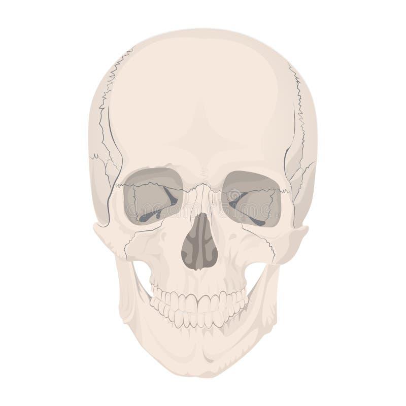 El Cráneo Humano Deshuesa A Muertos Del Esqueleto Ilustración del ...