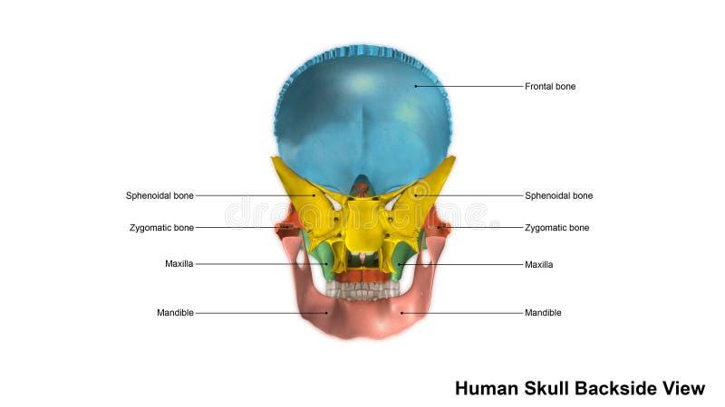 El Cráneo Humano Dispersado Detrás Ve Stock de ilustración ...